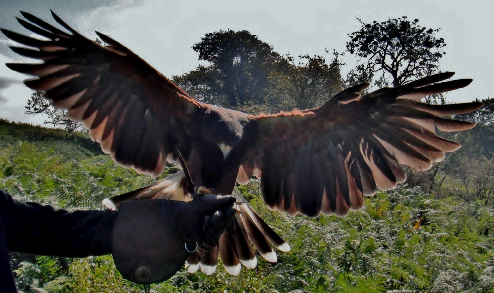 Fern the Harris   Hawk in Flight