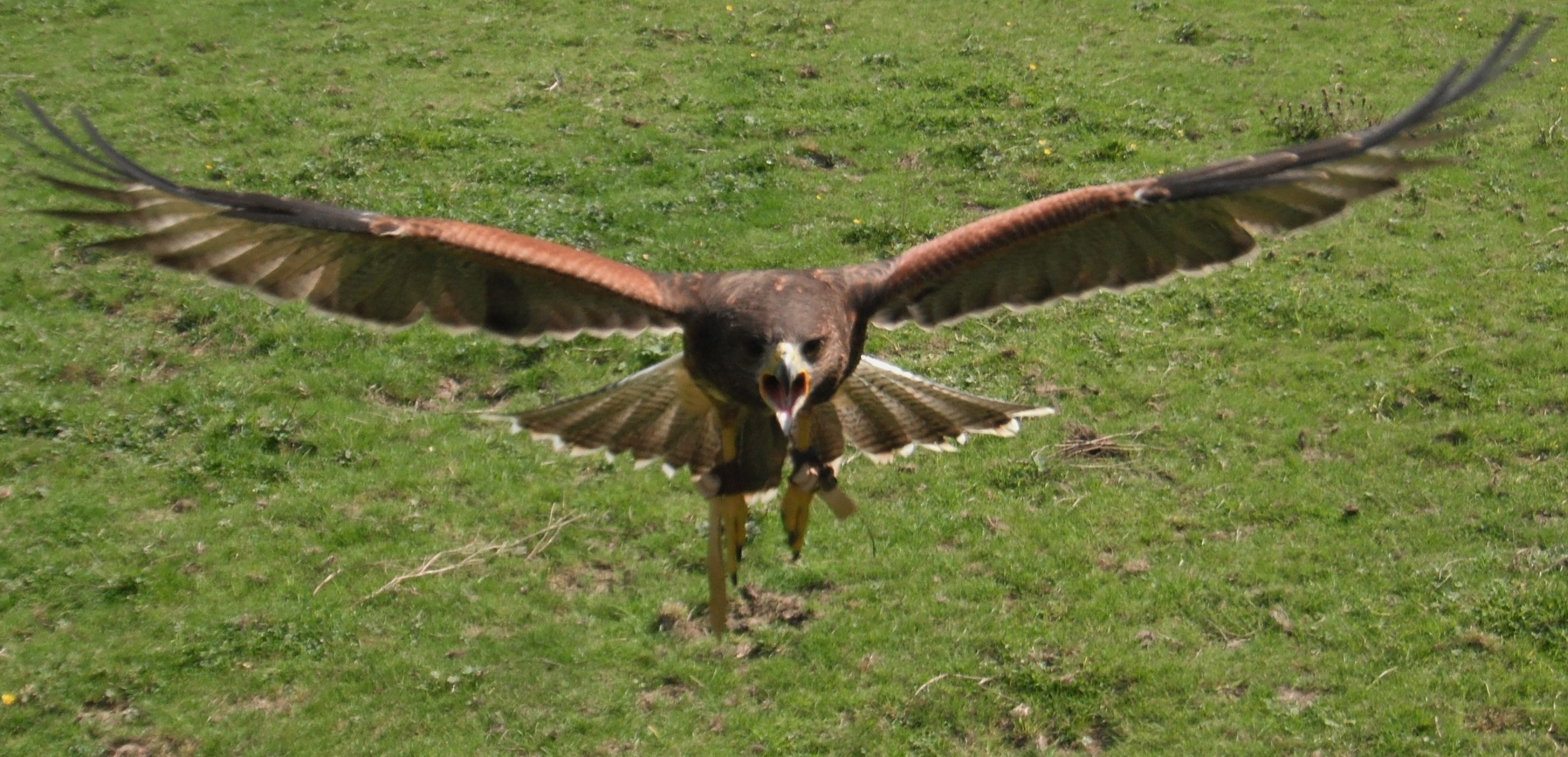 Gryff the Harris Hawk in Flight